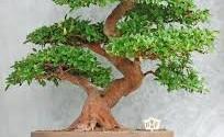 come prendersi cura di un bonsai