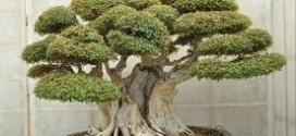 come curare il bonsai olmo