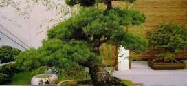bonsai carmona