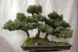 bonsai a boschetto